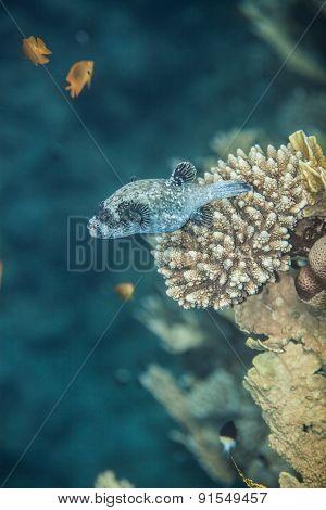 Masked pufferfish - Arothron diadematus