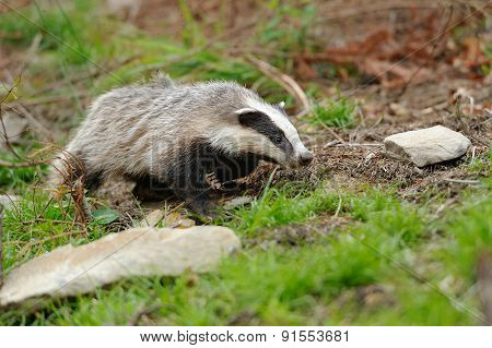 Badger near its burrow in the summer forest poster