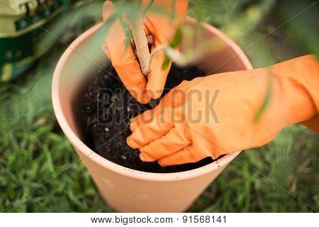 Gloved Gardener Planting A Plant