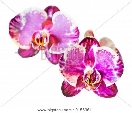 Blossoms Of Moth Orchid