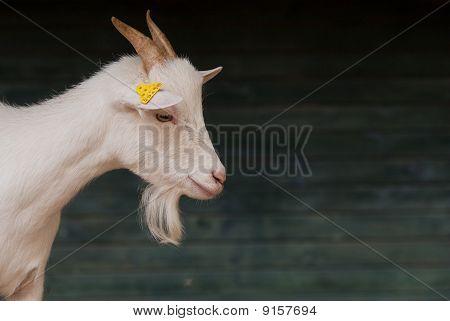 Goat Nanny