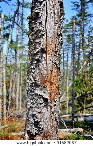 Old Dried Pine Trunk