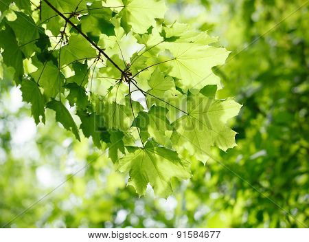 Leaves Of Maple At Spring