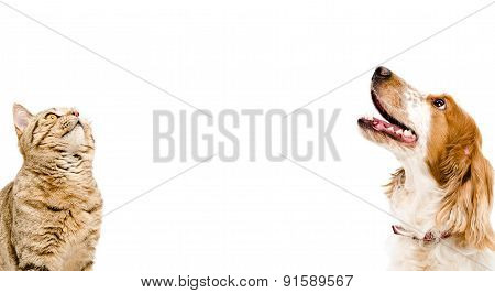 Portrait of a cat Scottish Straight and dog Russian Spaniel