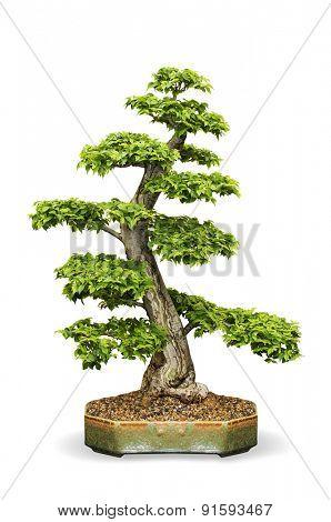 isolated Bonsai tree