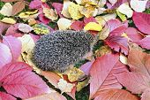 Little forest hedgehog on a background of bright multi-colored autumn leaves poster