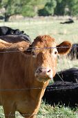 Cow in a pasture behind a barbed wire fence. poster