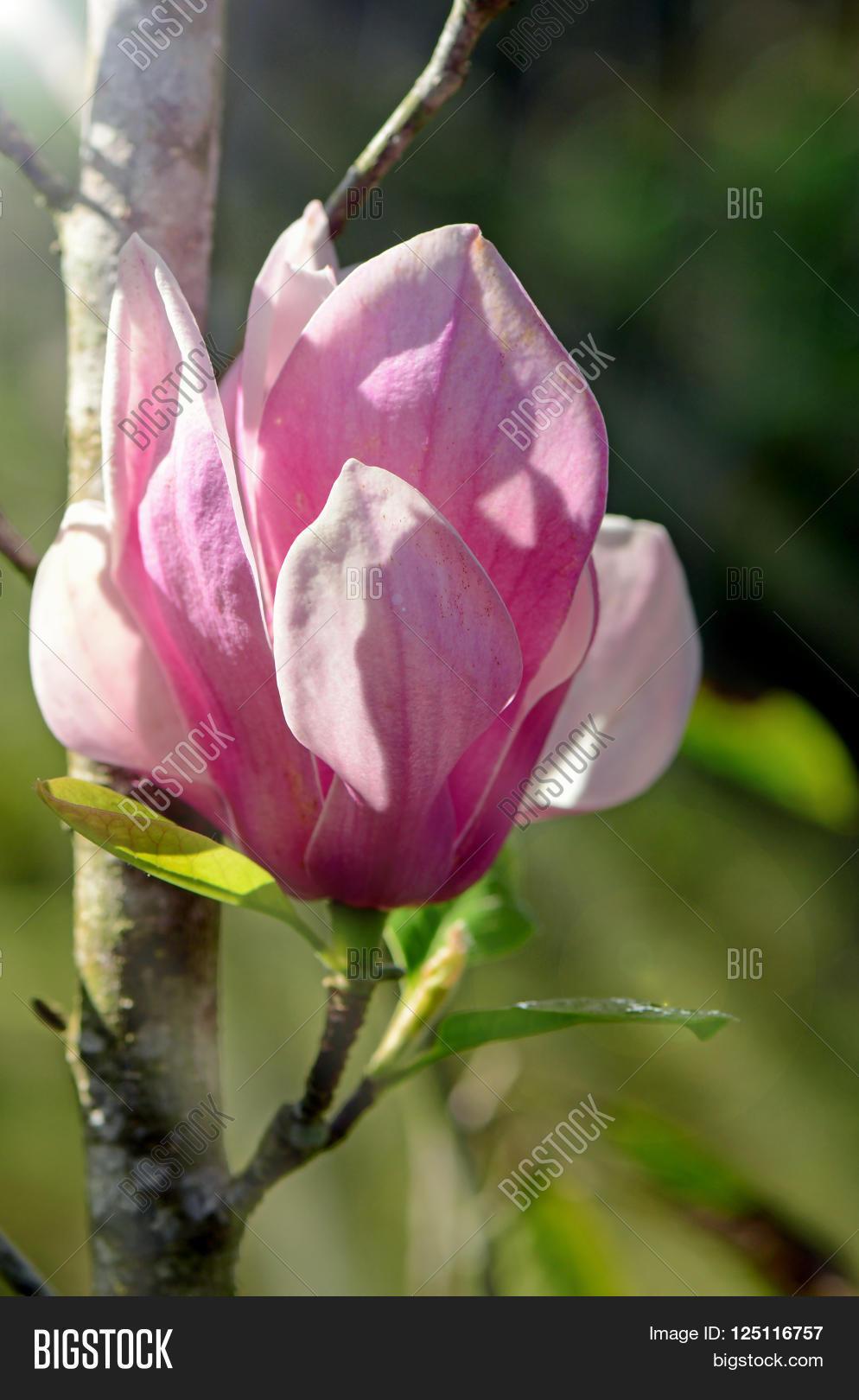 Pink Magnolia Image Photo Free Trial Bigstock