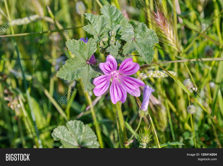 Mauve Purple Flower Image Photo Free Trial Bigstock
