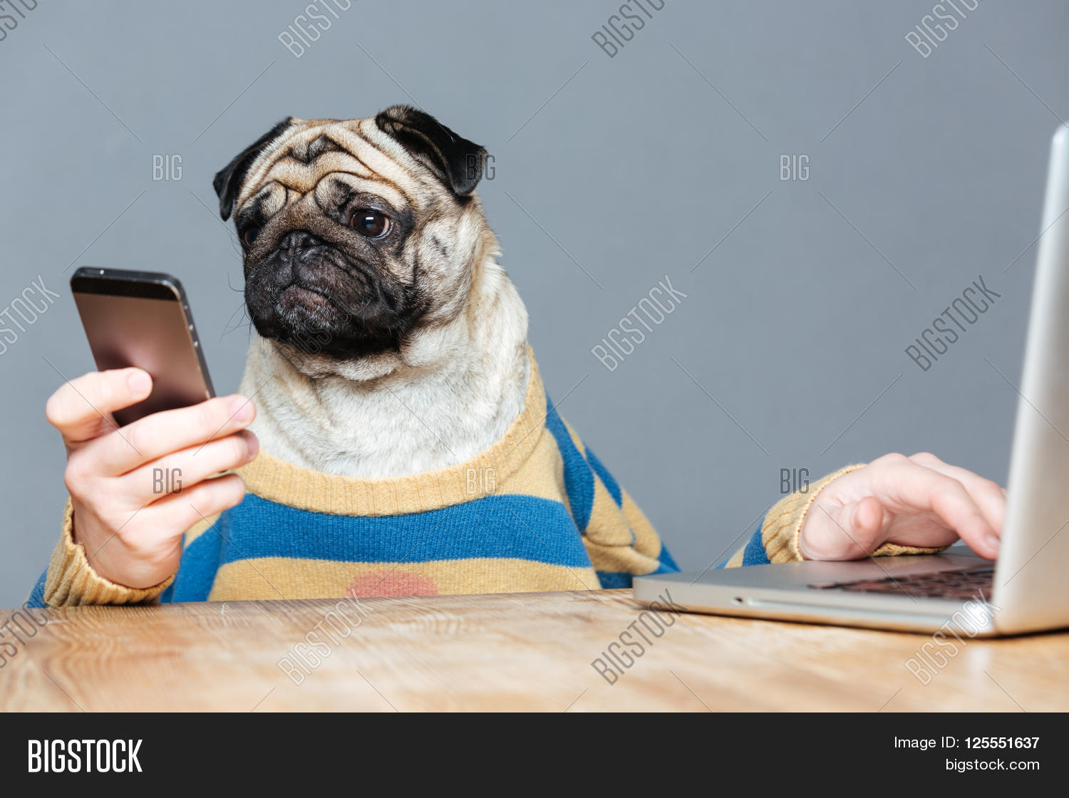 Funny man pug dog head image photo free trial bigstock funny man with pug dog head in striped pullover using laptop and smartphone over grey background voltagebd Choice Image