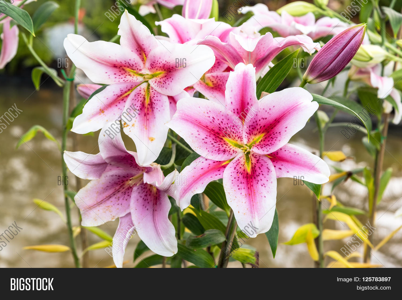 Beautiful Pink Lily Image Photo Free Trial Bigstock