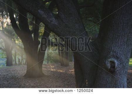 Fog Beams In Forest