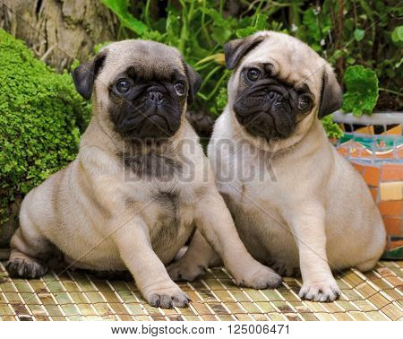 Two fawn pug puppies sitting in a garden setting.