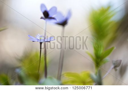 blue spring wild flower, Hepatica nobilis. Liverwort or liverleaf is a small wildflower. Shallow depth of field makes the background abstractand delicate and fragile. poster