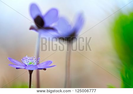 blue spring wild flower, Hepatica nobilis. Liverwort or liverleaf is a small wildflower. Shallow depth of field makes the background abstractand delicate and fragile.
