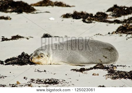 the Australian sealion is resting on the beach