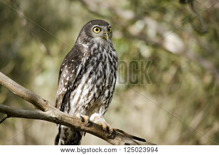this is close up of a boobook owl