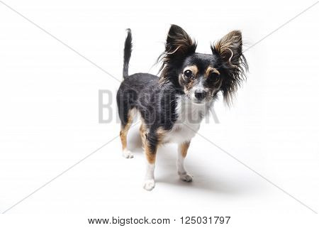 photo of interested emotional toy terrier dog isolated on white background