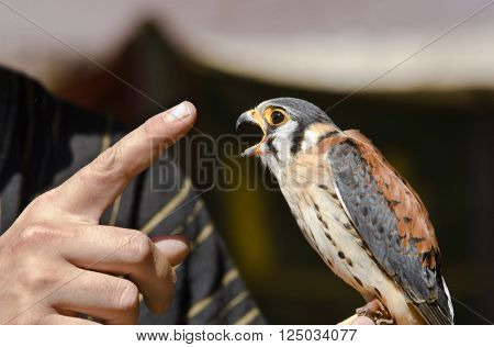The American Kestrel (Falco sparverius) sometimes colloquially known as the Sparrow Hawk is a small falcon and the only kestrel found in the Americas. It is the most common falcon in North America and is found in a wide variety of habitats. At 19-21 centi