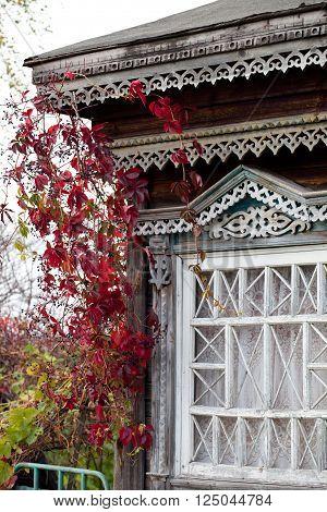 Rural house window twined with autumn wild grape liana (Parthenocissus quinquefolia)