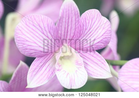 Dendrobium Pink Stripes Orchid in full bloom