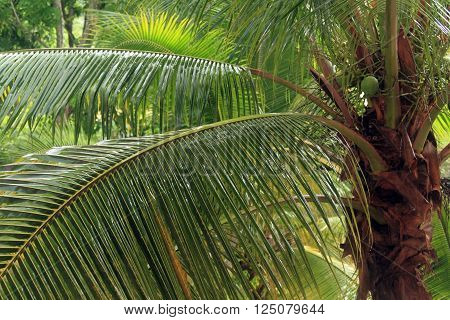 Leaves of palm tree, Caribbean  nature background