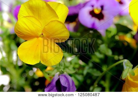 Botanic gardening plant : macro shot of yellow viola cornuta (horned pansy or horned violet)