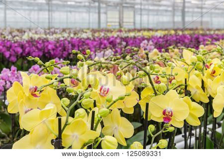 Colorful yellow orchid flowers growing in a big greenhouse