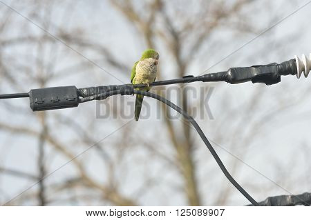 Quaker parrot is preying on the wires in Edgewater NJ