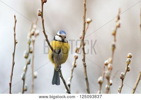 beautiful little blue tit bird singing a song on a fluffy willow in early spring in the Park