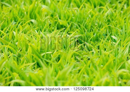 Background of a green grass. Green grass texture close-up