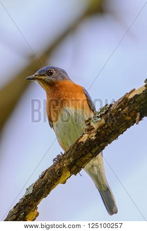 Young Northern Bluebird Perched On A Branch Colorful With Blue S