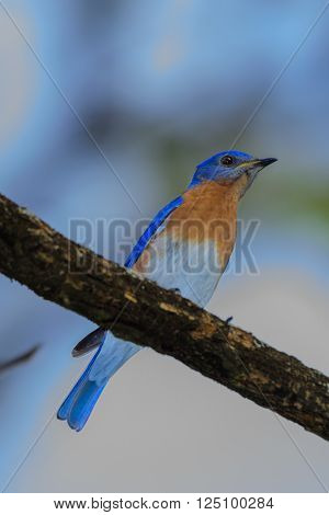 Very Bright Young Northern Bluebird Perched On A Branch Facing R