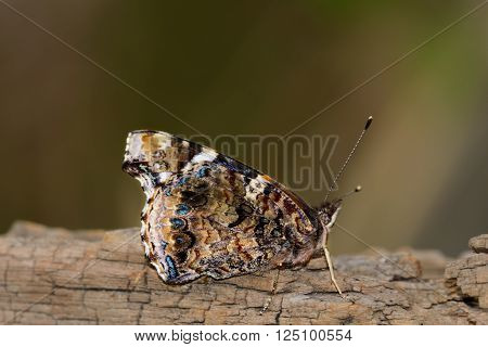 Red Admiral Butterfly on log with wings folded. Colorful, unique