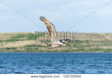 Brown Pelican in flight off Sunken Island in Hillsborough Bay ** Note: Soft Focus at 100%, best at smaller sizes