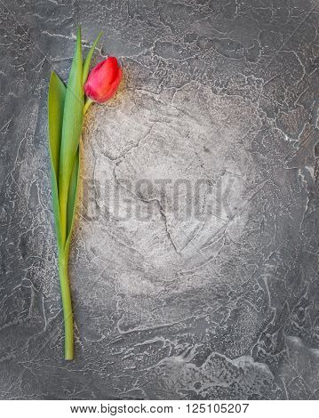 Ped spring tulip on shabby grey grunge stone background, top view, copy space