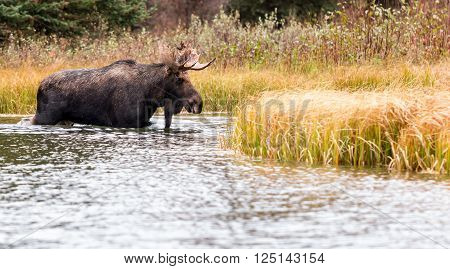 A bull moose crosses an inlet of the Snake River to access another meadow at Schwabachers landing in Grand Teton National Park