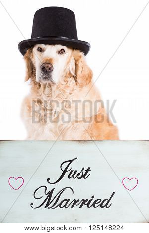 Golden Retriever with his cap and a poster of newlyweds