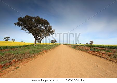 A dirt country road through rural farmland with flowering canola in bloom