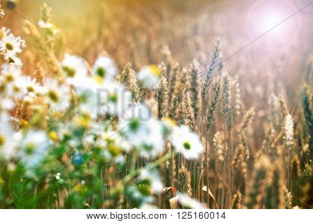 Wheat field - sun flare in wheat field (whet in focus, wild chamomile out of focus)