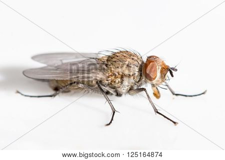 Macro image of a fly with brown eyes