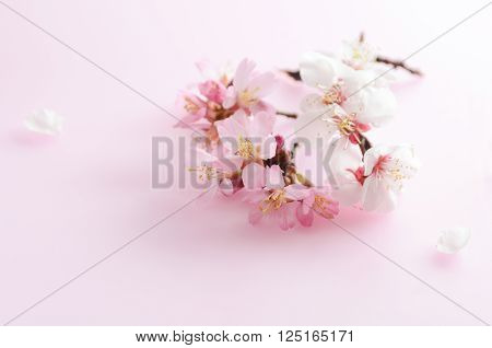 cherry blossom and ume flowers on pink background