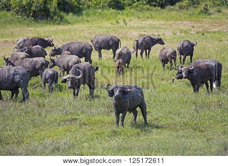 African buffaloes herd grazing at the Murchison Falls National Park in Uganda, Africa