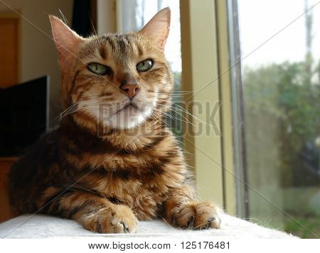 Old Bengal Cat Sitting Next To Defocused Window Shedding Fur