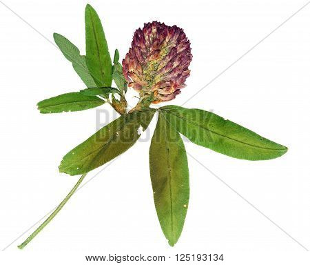 Pressed and dried flower red clover or trifolium pratense . Isolated on white background.