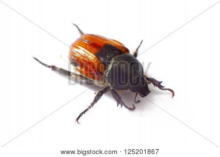 Aphodius Scrutator, Dung Beetle, Isolated On A White
