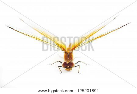 Big Orange Dragonfly isolated on white background