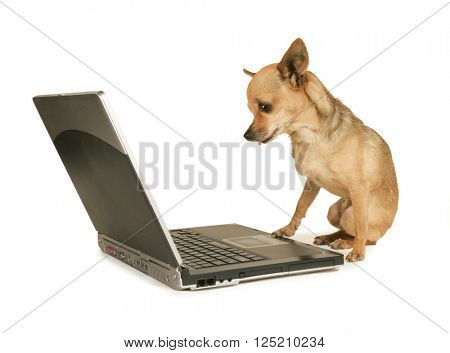 a cute chihuahua with his paw on a laptop computer looking at the screen isolated on a white background