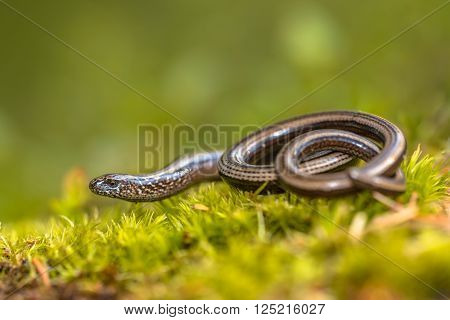 Slow worm (Anguis fragilis) on moss in a forest of Dolomites Italy poster