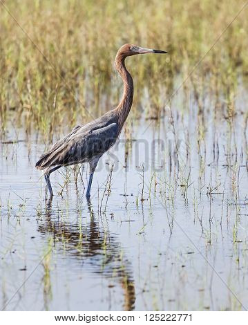 A reddish heron stands in a Florida wetland stalking fish in shallow water.